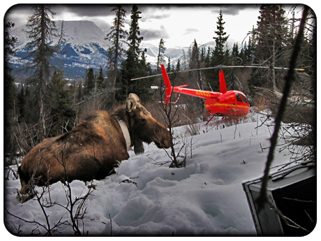 R44-Moose-Capture--Alaska